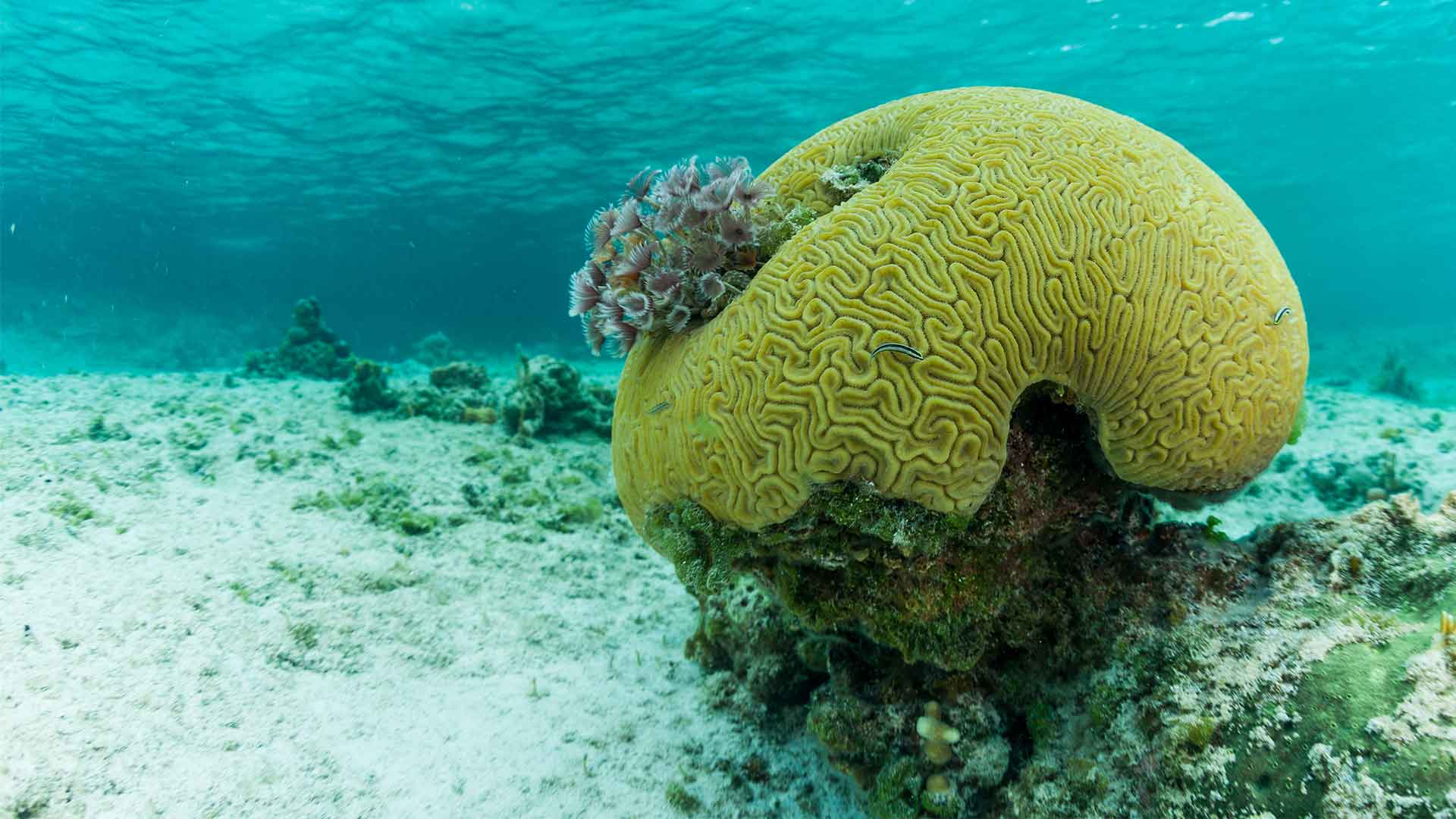 Beautiful brain coral